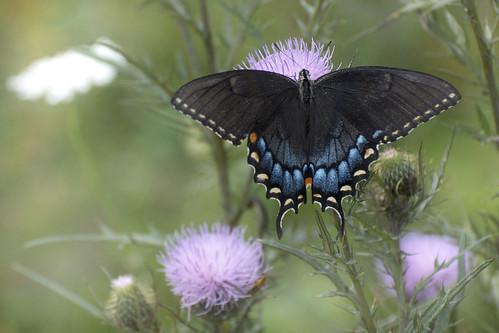 tigerswallowtail shenandoahnationalpark papilioglaucus photobydavewendelken easterntigerswallowtaildarkfemale