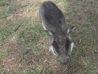 domesticated warthog