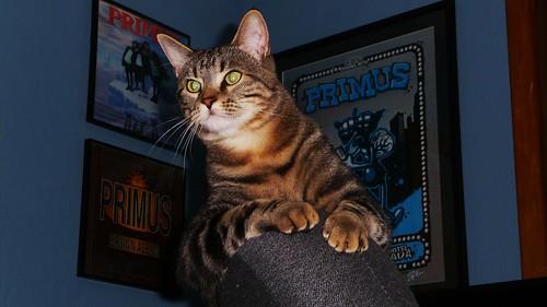 PRIMUS CAT