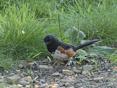 Eastern (Rufous-sided) Towhee, Indiana, PA
