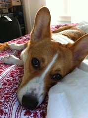 dog breed(1.0), animal(1.0), puppy(1.0), dog(1.0), pet(1.0), mammal(1.0), pembroke welsh corgi(1.0), welsh corgi(1.0), basenji(1.0),