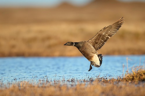Incoming Brandt's Goose