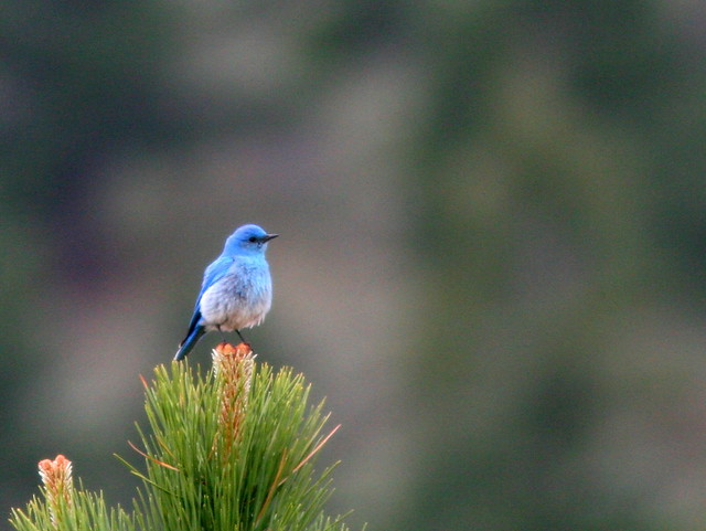 Mountain Bluebird 20100614