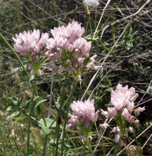Allium roseum 4752443206_7070ff36b0_o