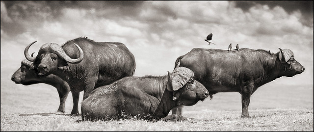 Buffalo Group Portrait, by Nick Brandt