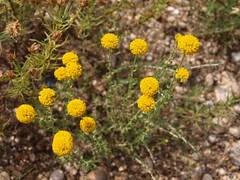 annual plant, prairie, flower, yellow, plant, subshrub, herb, wildflower, flora, tansy,