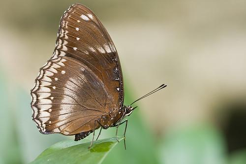 Hypolimnas bolina jacintha (Jacintha Eggfly) IMG_0216 copy