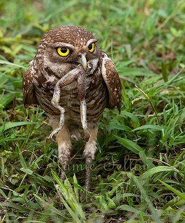 Burrowing owl eats a frog legs for breakfast