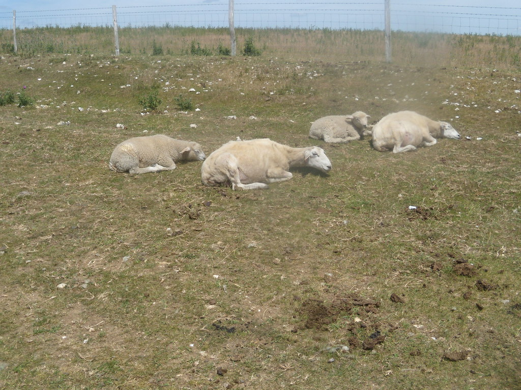 Sheep - lying down Glynde to Seaford