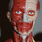 ¿Cuántos músculos tenemos en la cara?