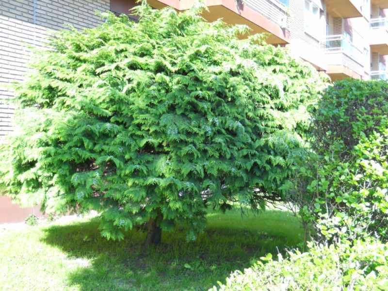 Chamaecyparis lawsoniana 'Globus' arbusto 4