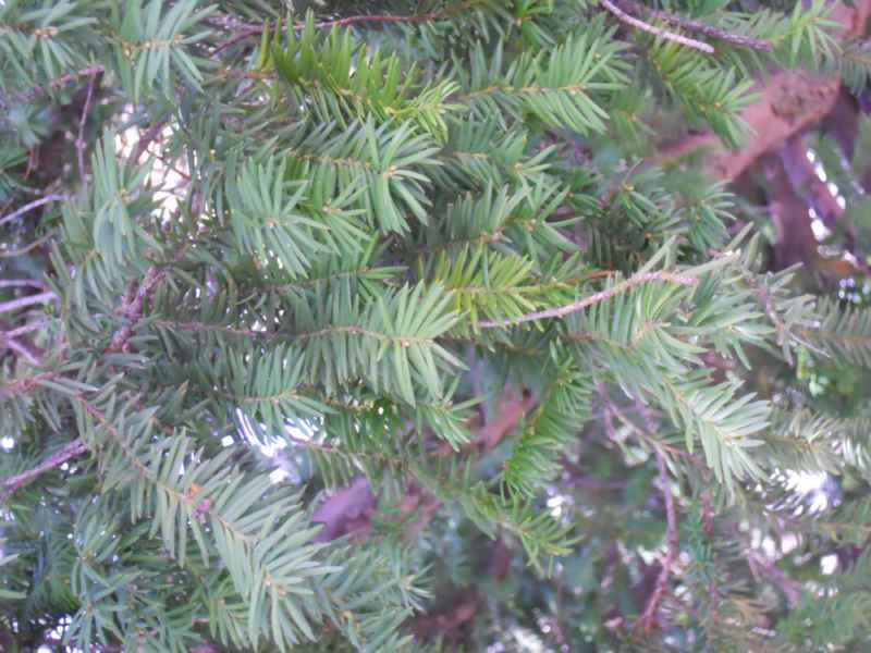 Taxus baccata hojas 3