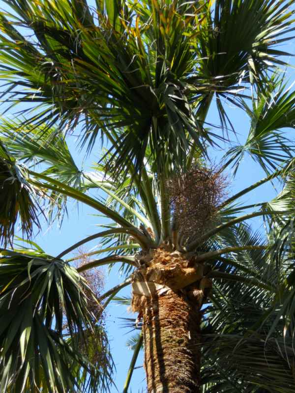 Sabal palmetto v 1