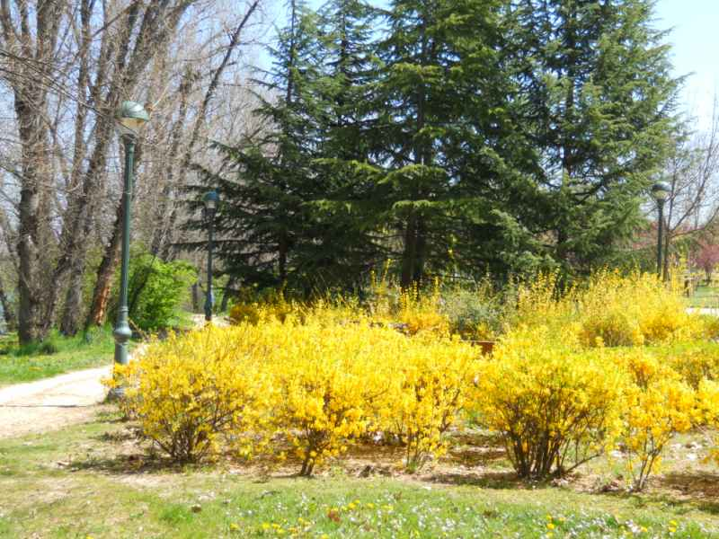 Forsythia x intermedia 5