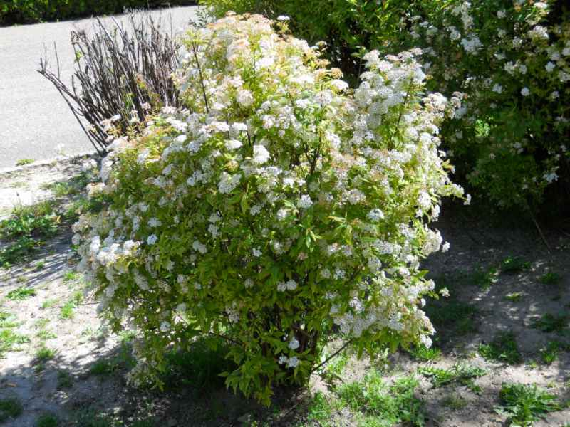 Spiraea japonica arbusto 2