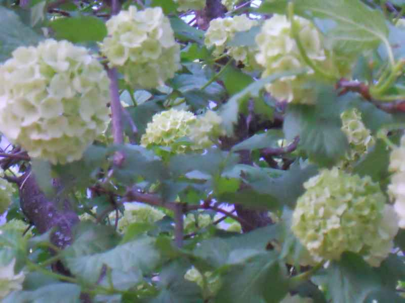 Viburnum opulus 'Roseum' árbol  4