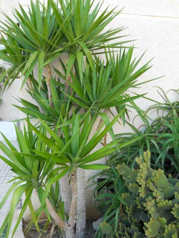 Cordyline australis v 1