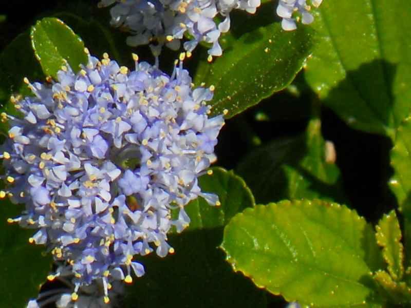 Ceanothus 'Concha'.. detalle flor 1