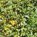 Laurus nobilis detalle hojas 2