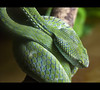 "<a href=""http://www.flickr.com/photos/austinosuide/4793329530/"">Photo of Trimeresurus hageni by AtilaTheHun</a>"