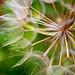 Dandelion by Nodixal