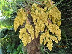 Trachycarpus fortunei flowers