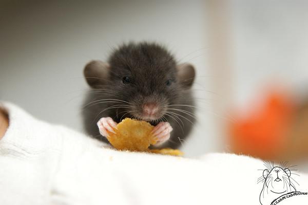 Cute baby rats - photo#9