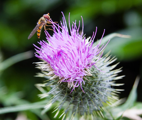 Hoverfly feeding on thistle