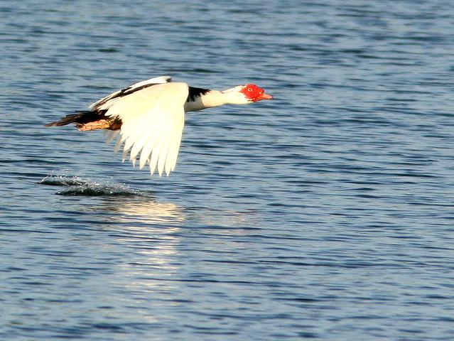Muscovy Duck 20100725