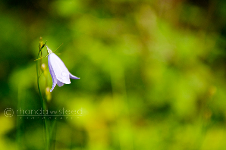 Little Blue Bell