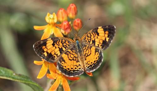 orange butterfly northcarolina milkweed picnik pearlcrescent butterflyweed richmondcounty orangemilkweed asclepiastuberosa phyciodestharos butterflymilkweed