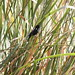 Small photo of Yellow-winged Blackbird (Agelasticus thilius) male