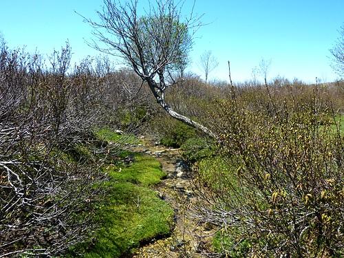 Aulnes du plateau du Cusciunu