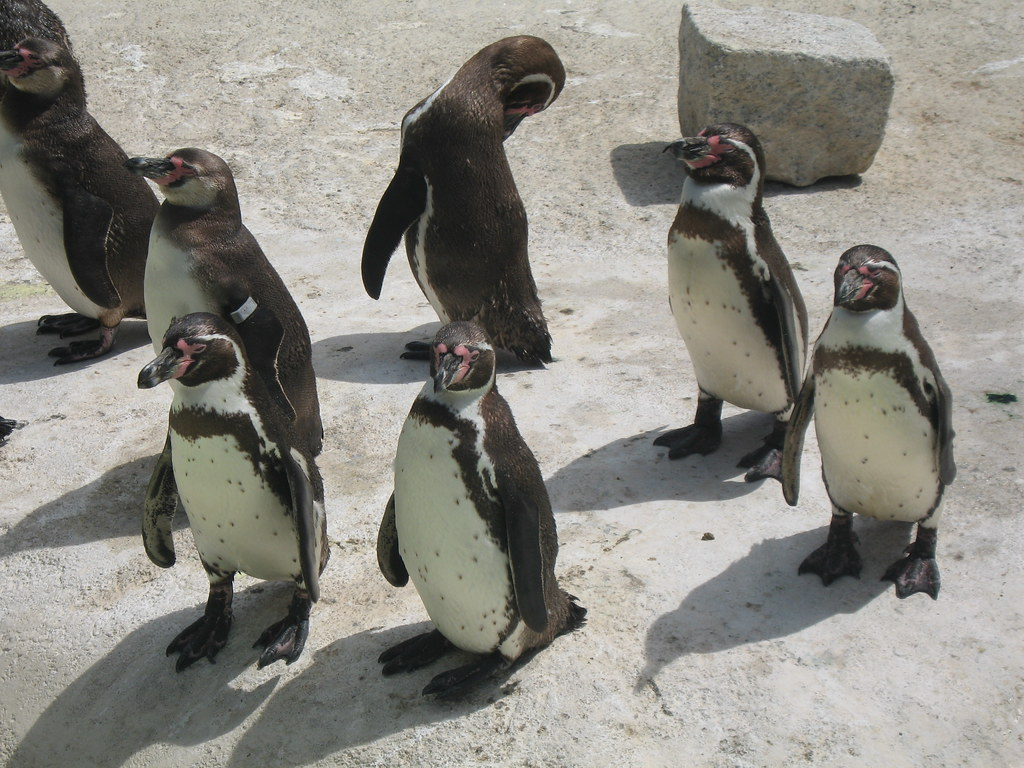 Penguins at Newquay Zoo, Cornwall