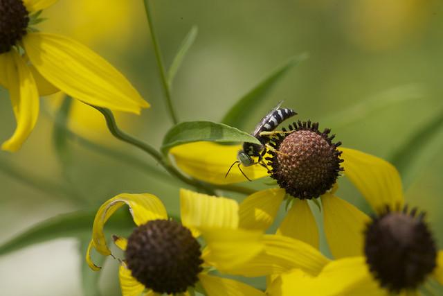 green-eyed hornet