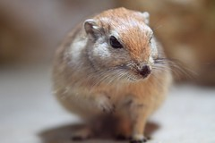 animal, squirrel, rodent, mouse, hamster, fauna, close-up, whiskers, wildlife,