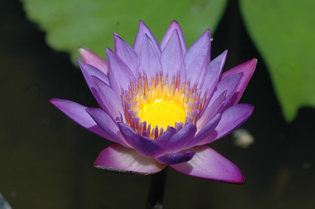 Nymphaea 'Panama-Pacific'. Photo by Cayleb Long.