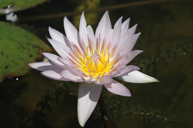 Nymphaea 'General Pershing'. Photo by Cayleb Long.