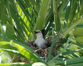 Nesting bird, Tobago