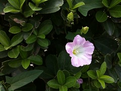 shrub, flower, four o'clock flower, plant, flora, four o'clocks, petal,