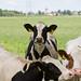 Kinderdijk Cows by ksvrbrg