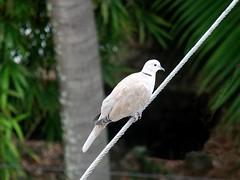 Tue, 08/10/2010 - 08:18 - Ring-necked Dove(Streptopelia capicola)  Thanks for your    visit.
