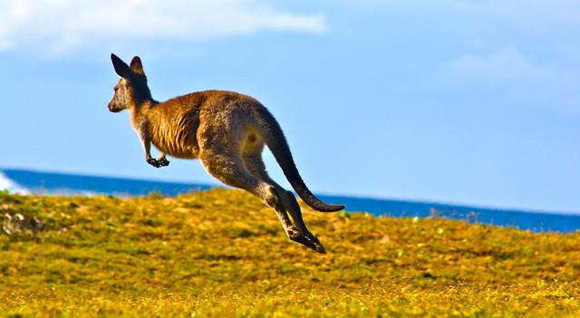 Pebbly Beach Kangaroos Australia - 198