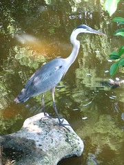 Heron at Morikami