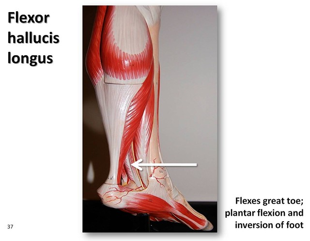 Flexor Hallucis Longus Muscles Of The Lower Extremity