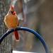 Small photo of Female Cardinal
