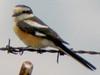 Masked Shrike, Göksu Delta (Turkey), 9-May-10 by Dave Appleton