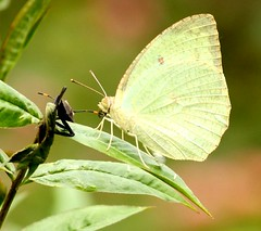 arthropod, animal, moths and butterflies, butterfly, wing, nature, invertebrate, macro photography, fauna, cabbage butterfly, close-up, plant stem,