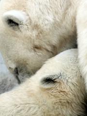 nose(0.0), sheeps(0.0), sheep(0.0), snout(0.0), camel(0.0), animal(1.0), polar bear(1.0), mammal(1.0), close-up(1.0),