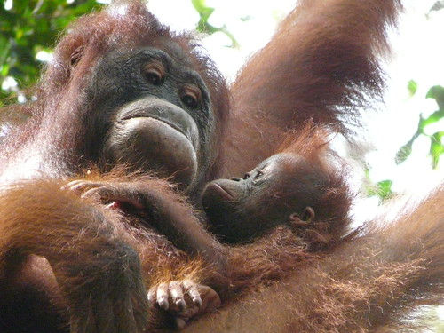Orangutanes en la selva de Borneo (Indonesia)